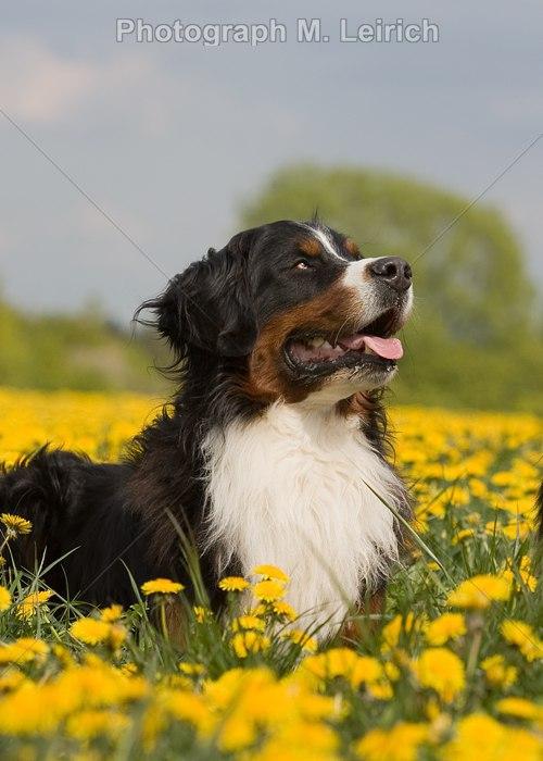 Berner Sennenhunde