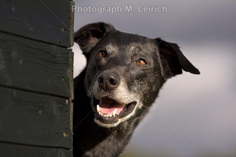 Europäische Schlittenhund