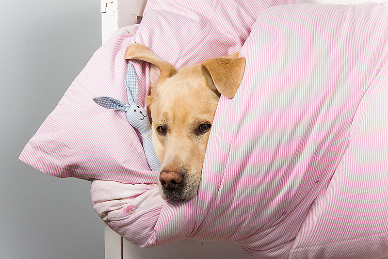 Hasenstunde | Labrador Retriever | horizontal, horizontale, horizontales, landscape, Bank, Sitzbank, Bett, Bettchen, blond, blonder, blonde, gelb, gelber, gelbe, Hase, Hund, Hunde, Hundefotos, Haushunde, Hundefoto, Haushund, Kissen, Decke, kuschelt, Labrador Retriever, Retriever, Labrador, Labradore, liegend, liegende, liegender, liegt, liegendes, lustig, lustiges, Querformat, querformatig, querformatige, querformatiges, quer, Rassehund, Rassehunde, schläft, schlafender, schlafende, schlafendes, schlafend, Stofftier, Stofftiere