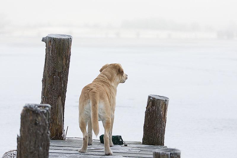 Am Steg | Labrador Retriever | horizontal, horizontale, horizontales, landscape, blond, blonder, blonde, Brücke, Dummy, Apportel, Dunst, Fluss, Flüsse, Fluß, Flüße, Flußufer, flussufer, gelb, gelber, gelbe, Hund, Hunde, Hundefotos, Haushunde, Hundefoto, Haushund, Labrador Retriever, Retriever, Labrador, Labradore, Nebel, Querformat, querformatig, querformatige, querformatiges, quer, rückseitig, rückseitige, von hinten, schauender, schauende, schauend, schauendes, schaut, Schnee, See, Teich, Gewässer, Steg, steht, stehender, stehende, stehend, stehendes, winter, winterlich