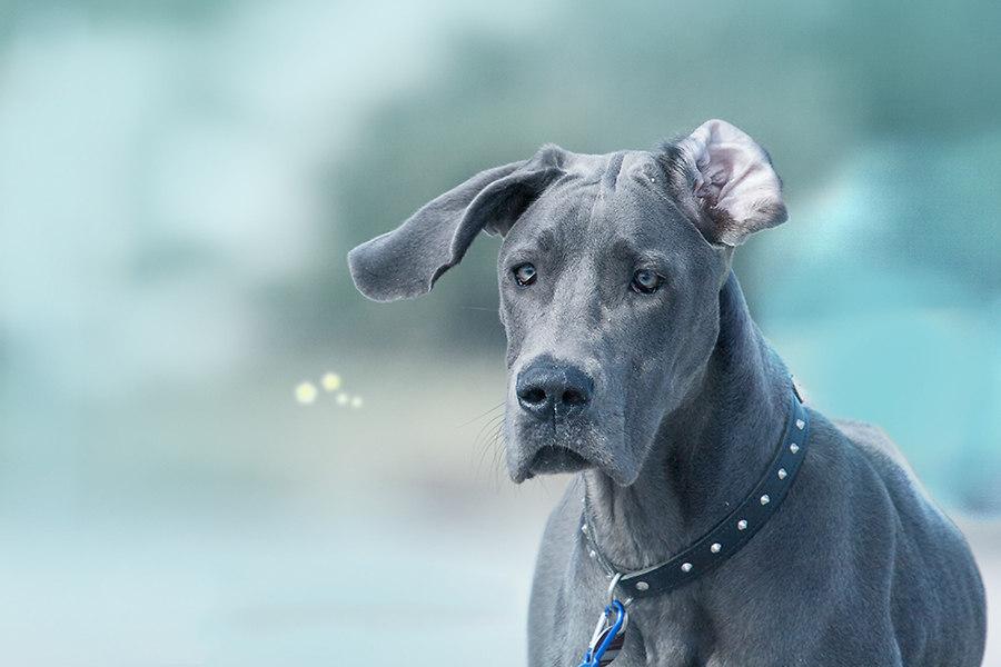 Blaue Dogge