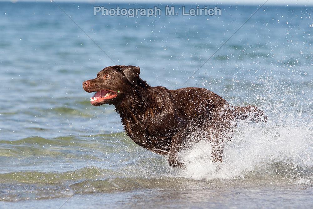 Wasseraktion | Labrador Retriever