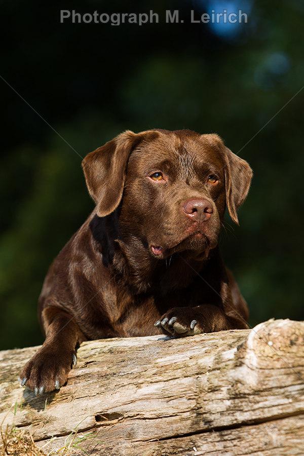 Bolle | Labrador Retriever