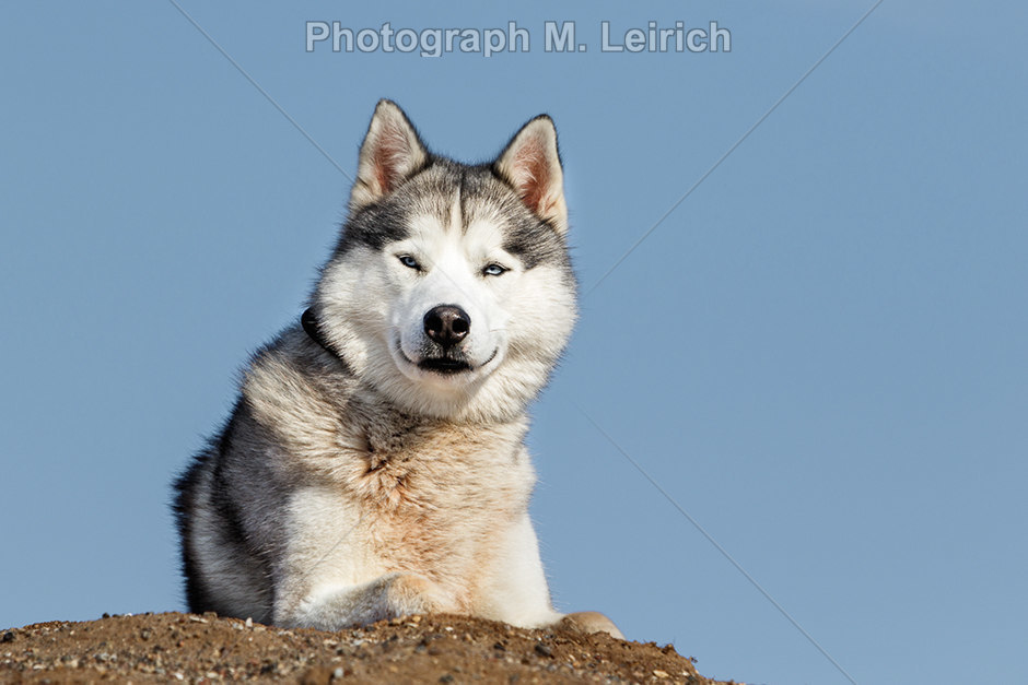 Huskay | Siberian Husky,