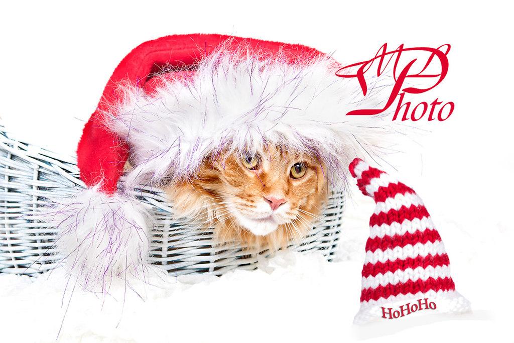 ML-20161211_2472+ | Maine Coon. Yoschi liegt in einem Körbchen und hat eine Weihnachtsmannmütze auf.