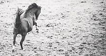pferd_galopp_pferdefotografie