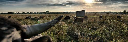 Rinder in den Rieselfeldern