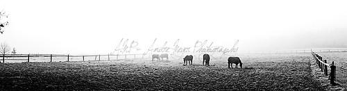 Buchholz - Pferde im Nebel