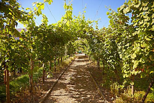 Wein-Blätter-Dach