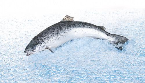 frischer Lachs am Stück
