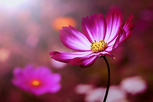 pimk flower