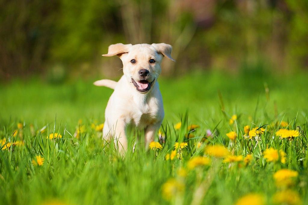 Labrador Welpe (_DSC4803)
