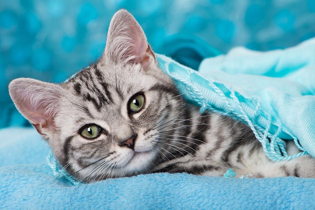 Britisch Kurzhaar Kätzchen (_DSC9223)