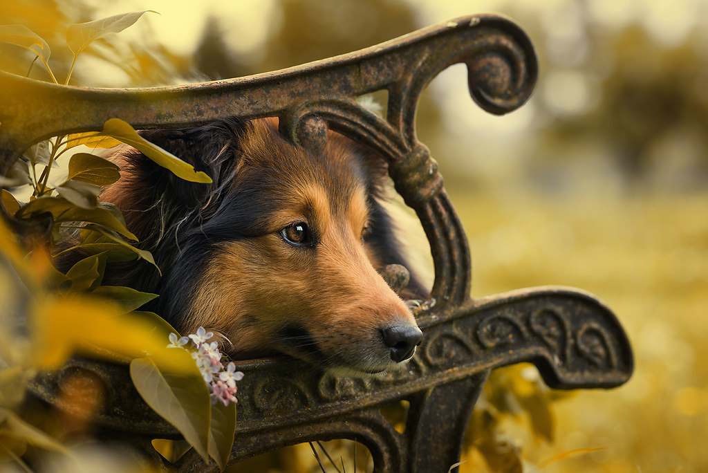 Sheltie dog lying on a old garden bench (D_Sheltie)