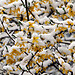 fresh snow on spring laburnum with flowers (B120407_4931) - fresh snow on spring flower plant on laburnum vulgare,