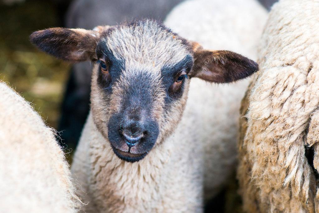 Laemmer_1MH6183   Osterlaemmer: Marc Ritthaler und Petra Eberle inmitten ihrer Laemmer und Schafe    *** Local...