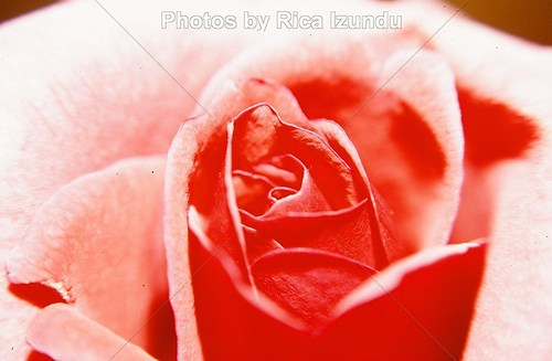01_The_Rose