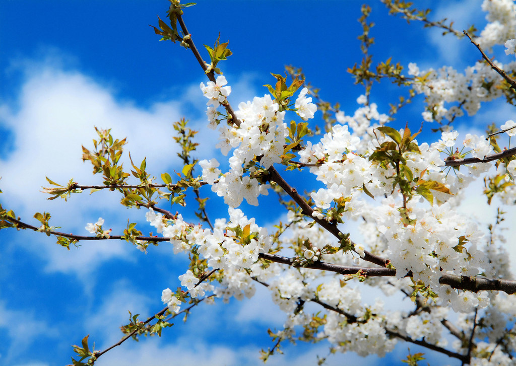Cherry blossoms (Cherry blossoms) | Cherry blossoms low angle view against sunny cloudy sky | flower, nature, springtime, growth, beauty in nature, fruit, tree, white color, blossom, freshness, branches, in bloom, fragility, twig, sky, cherry blossoms, no people, outdoors, low angle view, sunlight