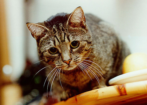 Domestic Cat (Domestic Cat)