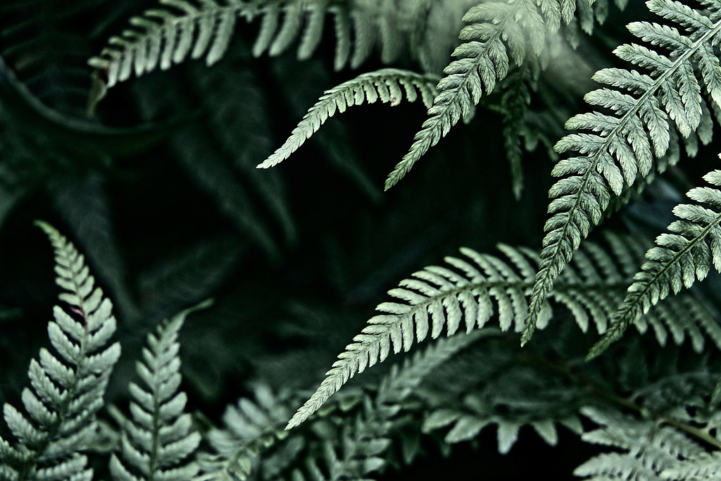 Fern (Fern) | Fern branches | nature, plants, fern, tranquil scene, calm, leaf, no people, outdoors, branch, close-up, day, daylight, beauty in nature