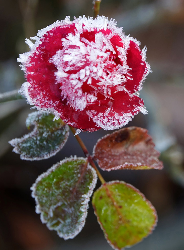 Frozen Rose (Frozen Rose) | Fragility Rose frozen in nature | rose, frozen, nature, no people, close-up, red, flower, growth, freshness, beauty in nature, fragility, focus on foreground, blooming, flower head, petal, outdoors, plant
