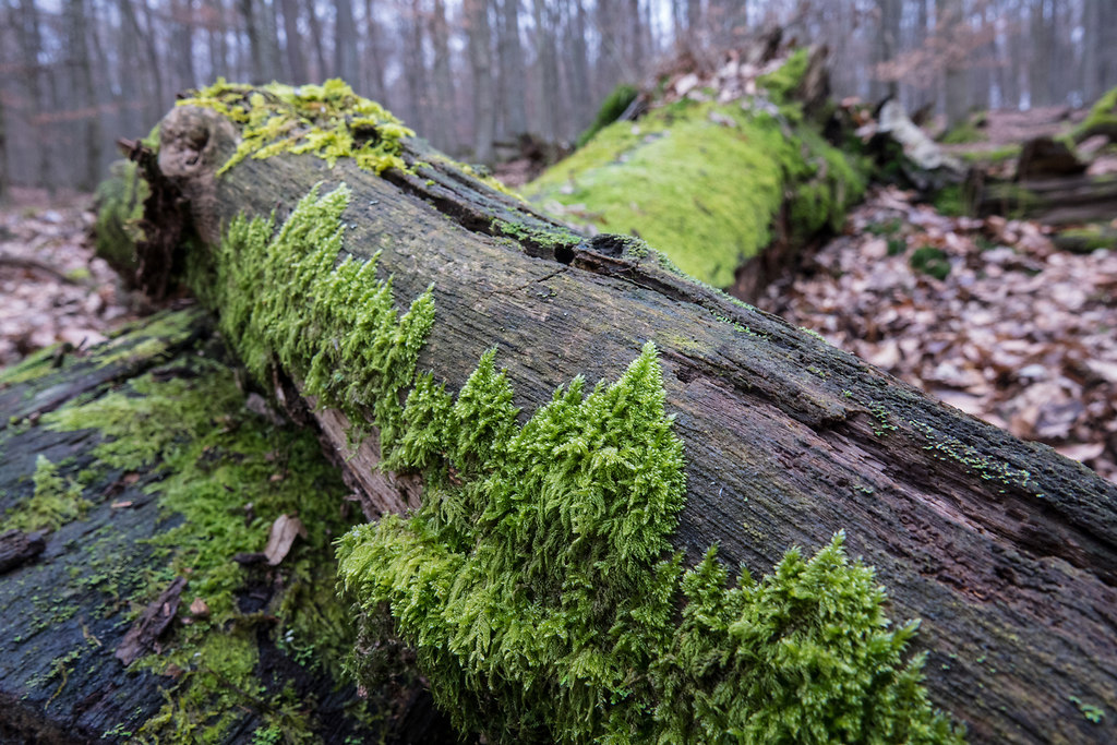 Moss covered II (Moss covered II) | Moss grows on the darker side of trees | nature, tree, forest, close-up, growth, no people, outdoors, textured, tree trunk, day, beauty in nature, branches, fragility, wooden
