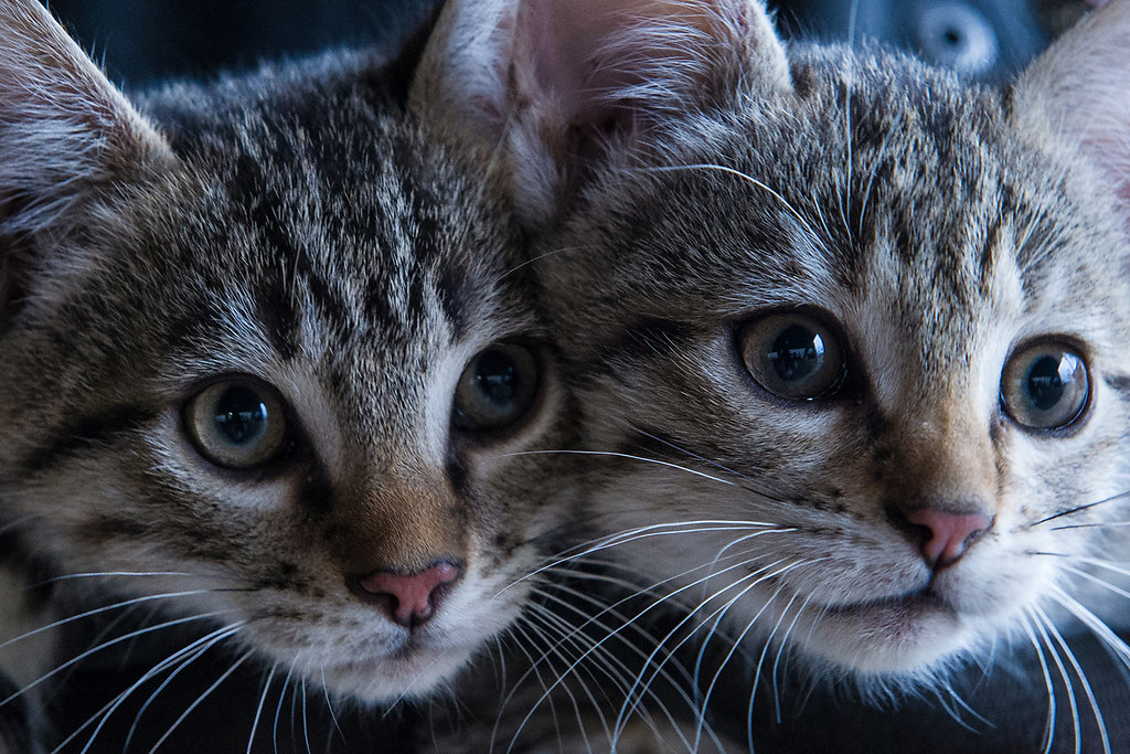 Sister Act (Sister Act) | two little kitties look curiously at the world | domestic Cat, animals themes, domestic animals, pets, mammal, feline, whisker, no people, close-up, animal eye, portrait, indoors, togetherness, cats