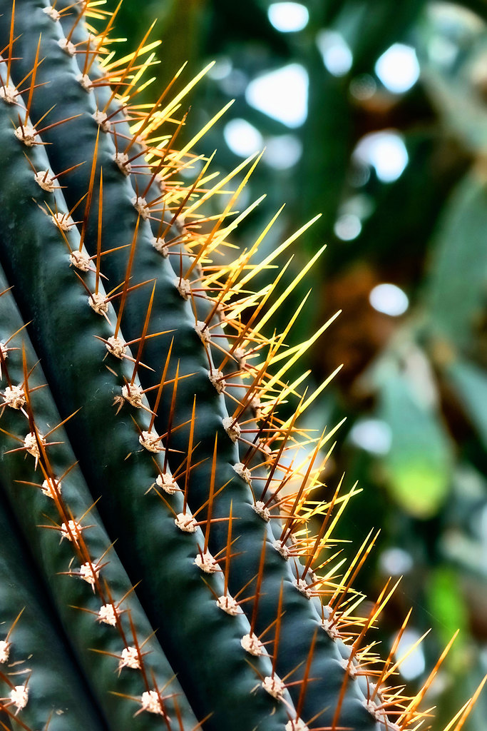 Spiky (Spiky) | Cactus close-up viewed with backlight | cactus, plants, background, green, spiky, garden, tropical, close-up, no people, thorns