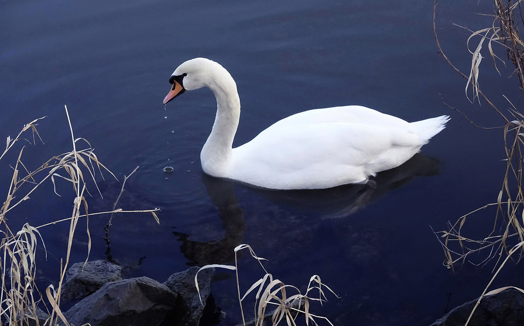 Swanlake (Swanlake) | White swan close-up swimming lonely in blue lake | animal themes, bird, Animals in the Wild, water bird, no people, swan, Swimming, lake, Nature, close-up, white color, water, blue, one animal, day, beauty in nature