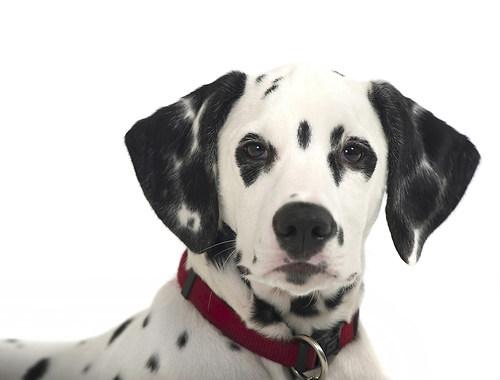 Dalmatiner Joko 2015 1