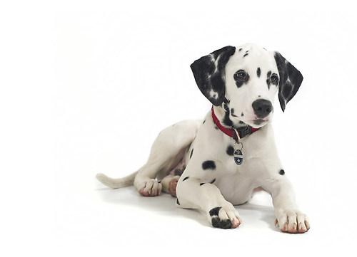 Dalmatiner Joko 2015 2