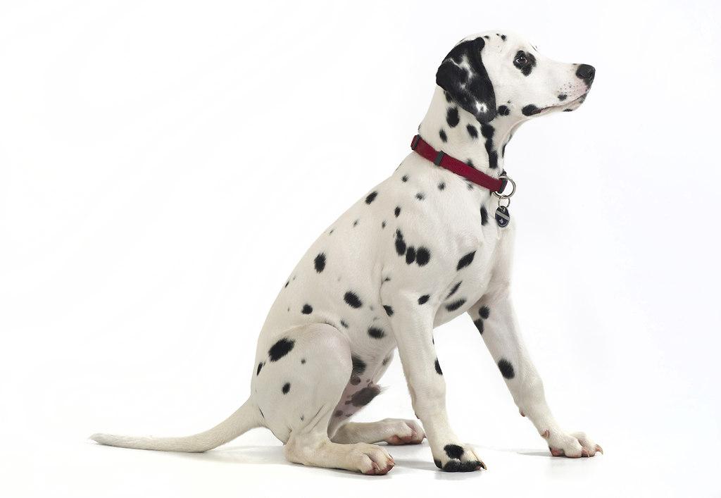 Dalmatiner Joko 2015 5