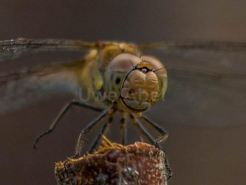 dragonfly (1 von 1)-3