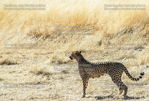 cheetah (DSC_0303)