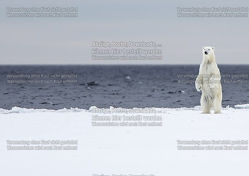 polar bear at the floe edge