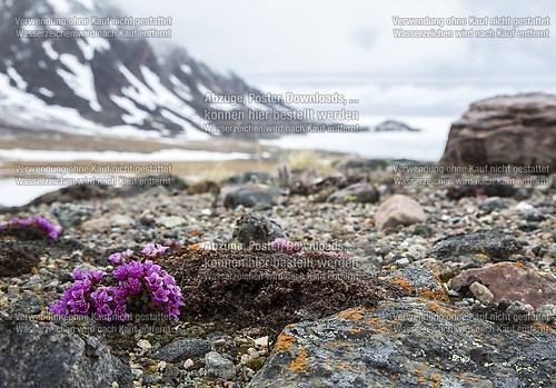 flowers on bylot island's tundra and frozen ocean around