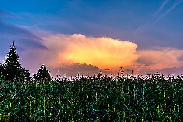 Maisfeld im Sonnenuntergang (DSC_1185) | Ein Maisfeld im Sonnenuntergang mit Wolken | Mais, Maisfeld, Feld, Wolken, Natur, Licht, Sonnenlicht, Abend, Dämmerung, Abendrot, wachsen, Blätter, orange, grün, Sommer, Jahreszeit, Sonne, Himmel, Nacht, Bäume, Ackerbau, Pflanzen