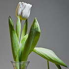 zwei_tulpen