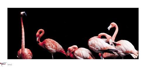 flamingos #1