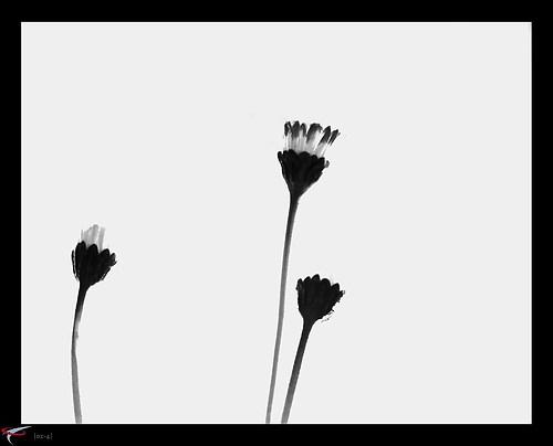 gaensebluemchen #3