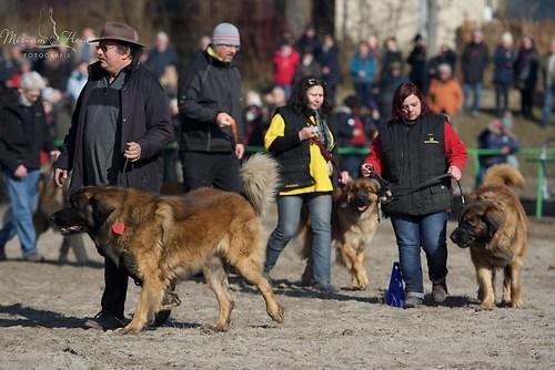 die Leonberger Hunde sind unverzichtbar