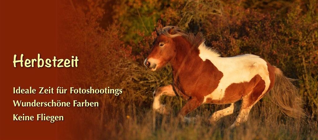 Slider Herbst4   galoppierendes Pferd vor Herbstwald. Herbst ist die ideale Zeit für Fotoshootings mit Pferden   Fotoshooting, Pferdefotografie, Pferde, Galopp, Herbst