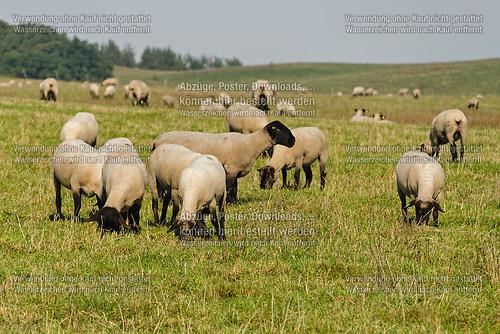 Schafe bei Groß Zicker