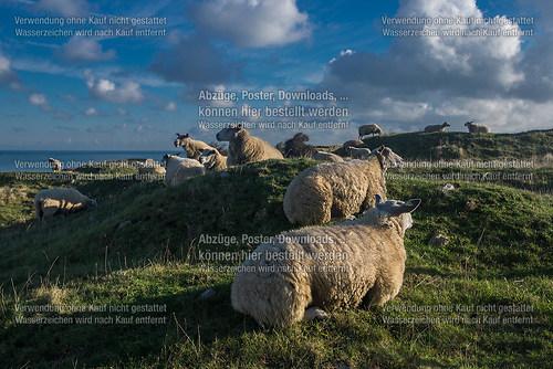 Schafe in der Picardie