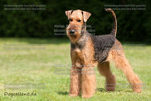 Airedale_3439-r