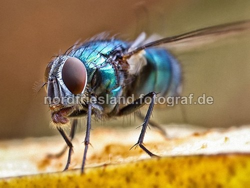 Fliege ORIGINAL_M