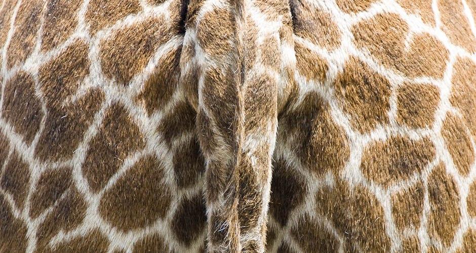 Giraffe_Hintern