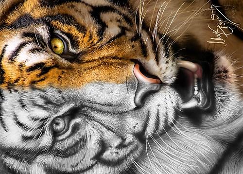 Tigerpostkarte quer