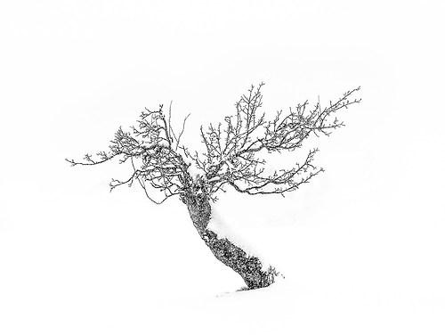18_Güde Martin_The gnarled tree