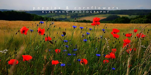 KLASMANN-poppies-cornflowers-2-1